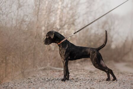 cane corso dog standing outdoors in a collar and leash