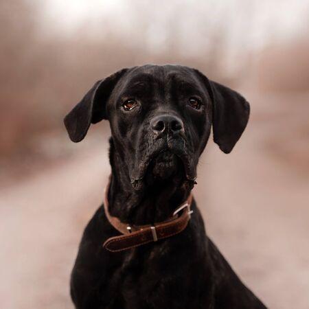 black cane corso dog portrait outdoors in a collar