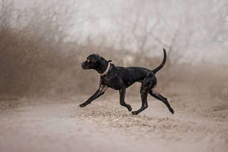 cane corso dog walking outdoors in autumn 版權商用圖片