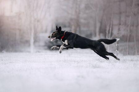 mixed breed dog in a red collar running outdoors