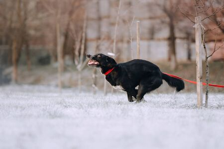 funny mixed breed dog running on a leash outdoors