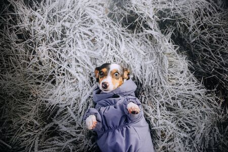 dachshund dog in clothes lying down on frosty grass, top view