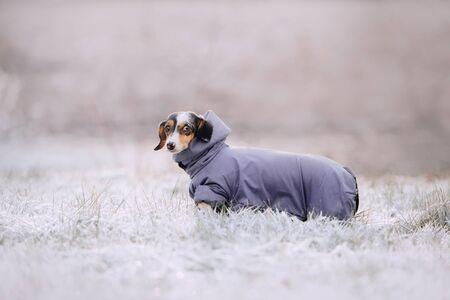 dachshund dog posing outdoors in a winter jacket 版權商用圖片