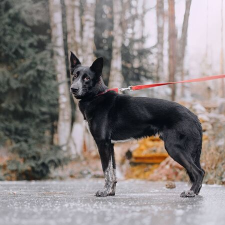 mixed breed dog standing outdoors on a leash