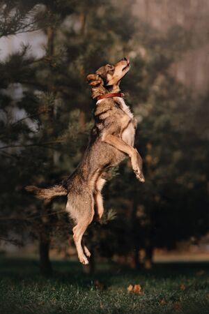 grey mixed breed dog jumping up outdoors 版權商用圖片