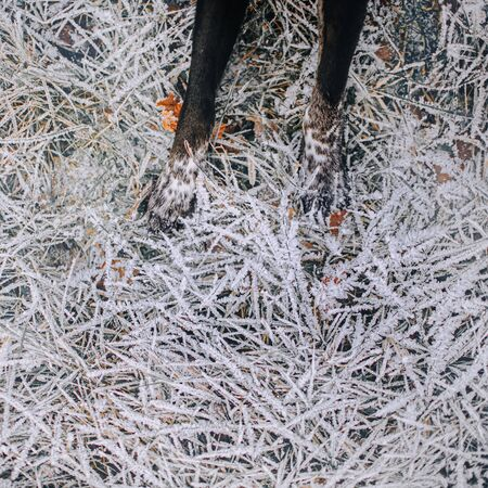 black dog paws on frosty lawn, top view