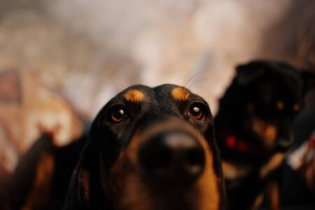 curious coonhound dog close up portrait indoors