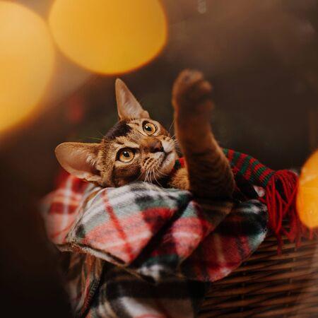 abyssinian cat lying down in a basket