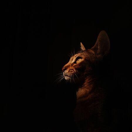abyssinian cat portrait indoors on black background