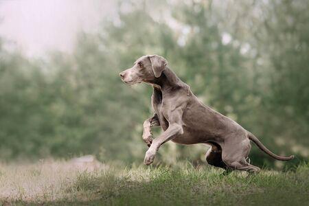 adorable weimaraner dog running outdoors in summer
