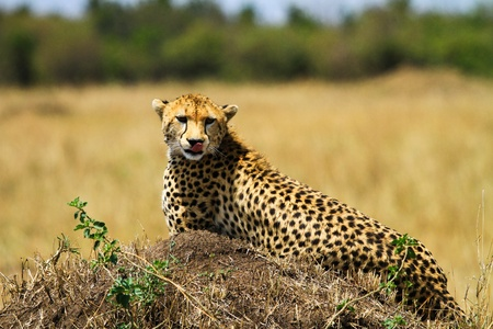 cheetah in wild at kenya photo