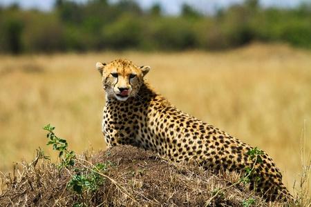 cheetah in wild at kenya