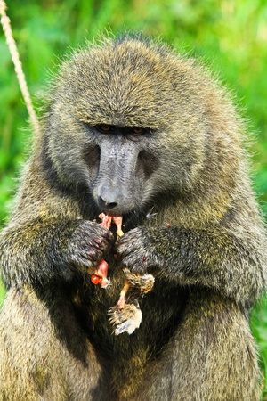 olive baboon in kenya photo