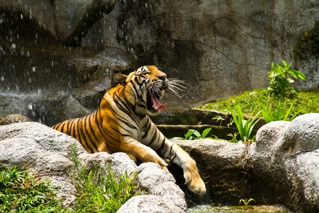 tiger is endangered species in Thailand photo
