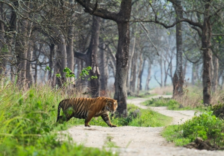 Bengal Tiger in india photo