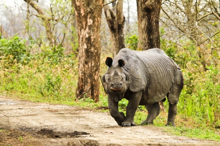 Rhinoceros in Kaziranga National Park India