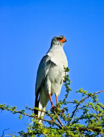 chanting: pale chanting goshawk in Etosha National Park  Namibia