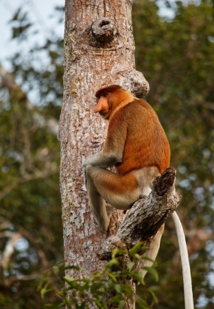 Proboscis Monkey inTanjung Puting National Park Indonisia photo