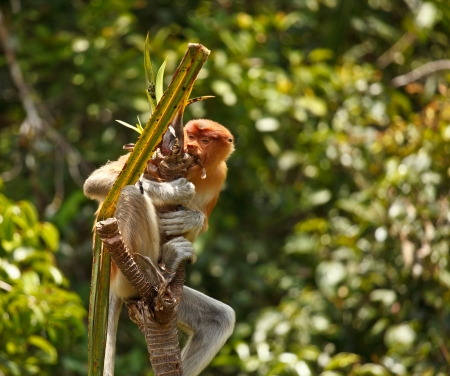 proboscis: Proboscis Monkey inTanjung Puting National Park Indonisia