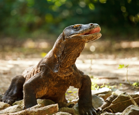 Komodo Dragon at Komodo National Park a World Heritage Site Indonesia photo