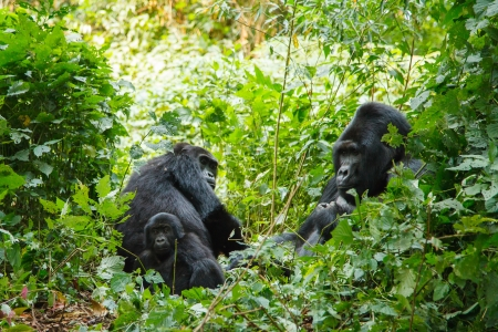 silverback gorilla family in wild on Uganda 版權商用圖片