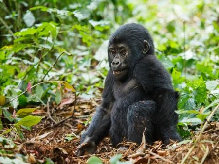 baby animals: baby gorilla in wild on Uganda
