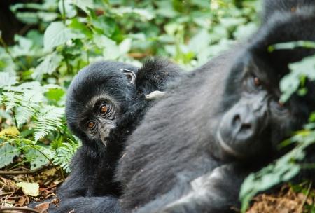 baby gorilla and mom in wild on Uganda 版權商用圖片