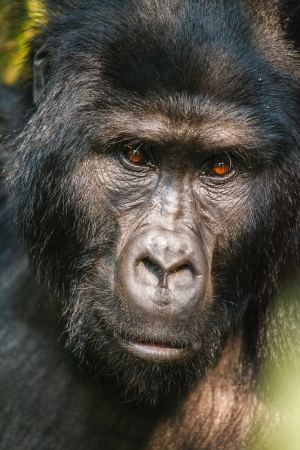 silverback: silverback gorilla  in wild on Uganda