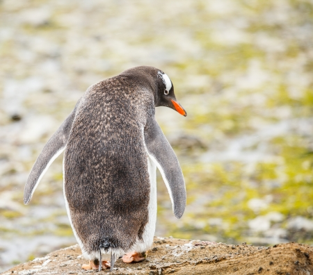 gentoo penguin in antarctica photo