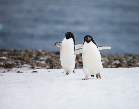 funny adelie penguin in antarctica photo