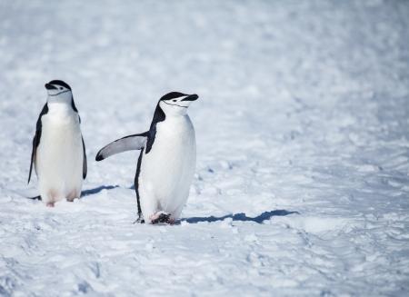 chinstrap penguin in antarctica photo