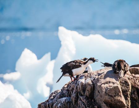 king cormorant: antarctic blue-eyed shags in nest Stock Photo