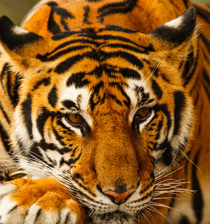 threatened: tiger wildlife threatened species Stock Photo