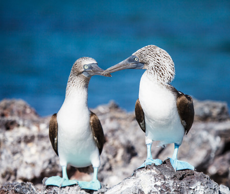 booby: blue footed booby on mating season in galapagos Stock Photo