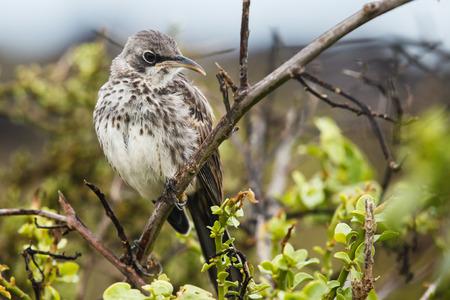 mockingbird: espanola mockingbird in galapagos island
