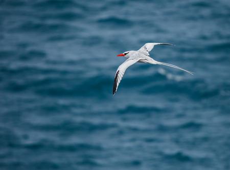 billed: red-billed tropicbird in galapagos island