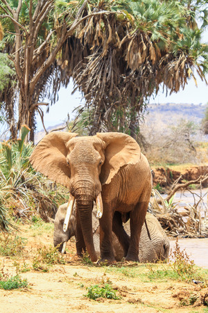 angry elephant: angry african elephant in kenya