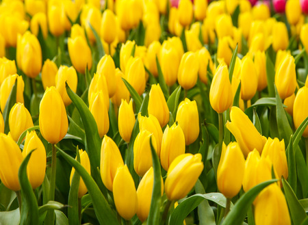 green yellow: Tulips flower in the garden Stock Photo
