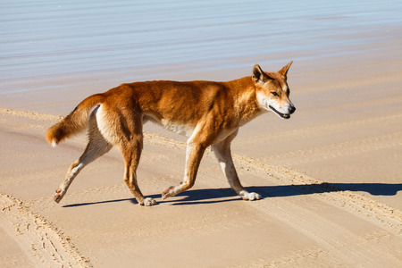 outback australia: Dingo is endangered in Austaralia Stock Photo