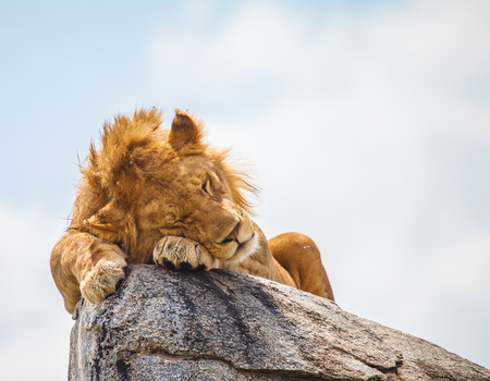 sleep: lion sleeping on rock in wild to escape insects Stock Photo