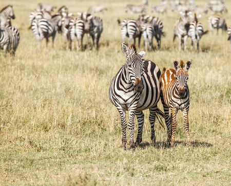migration: The migration of wild animals Stock Photo