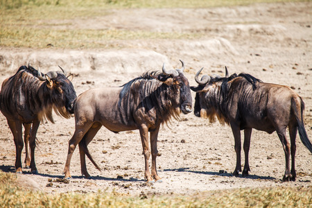 taurinus: wildebeest in wildlife serengati Tanzania