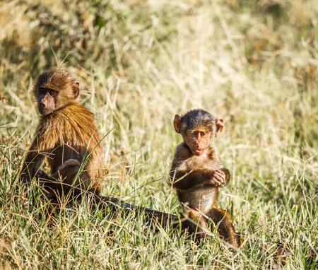 baboon: Baboon family in wildlife Tanzania