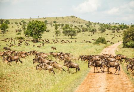 migration: migration of wildebeest in Tanzania