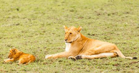 tanzania: Lion family in wildlife Tanzania