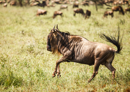 wildebeest: migration of wildebeest in Tanzania