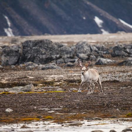 spitsbergen: Svalbard Reindeer in shed antler season