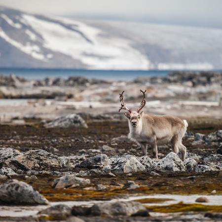 antler: Svalbard Reindeer in shed antler season