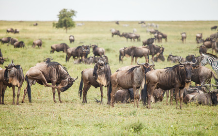wildebeest: wildebeest in nature