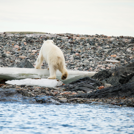 endangered species: polar bear endangered species to protect